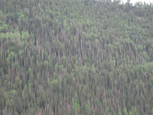 Ponderosa pines killed by beatles